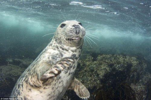 Любопытный молодой тюлень чуть не утащил камеру у дайвера-фотографа (8 фото)