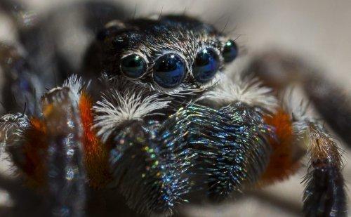 Паука, обнаруженного в Австралии, назвали самым красивым на планете (9 фото)