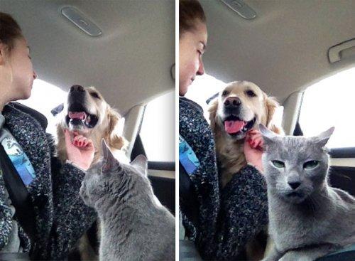 Пост о непростых взаимоотношениях собак и кошек (37 фото)