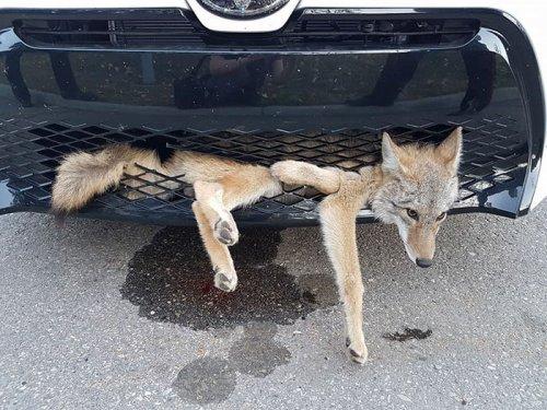 Невероятная история выживания койота после столкновения с автомобилем (2 фото)