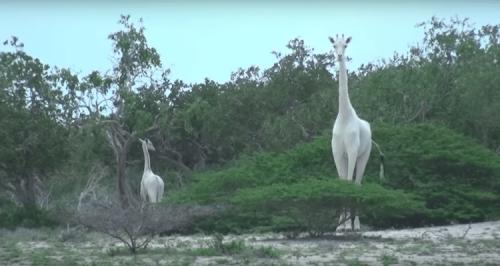 Редкие белые жирафы впервые сняты на видео в Кении (4 фото + видео)