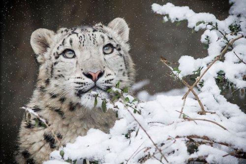Снежные барсы больше не находятся под угрозой уничтожения (30 фото)