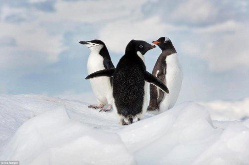 Очаровательные пингвины через объектив фотографа Айры Мейера (17 фото)