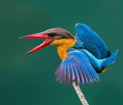 Красочные фотографии птиц от сингапурского фотографа Джонсона Чуа (23 фото)