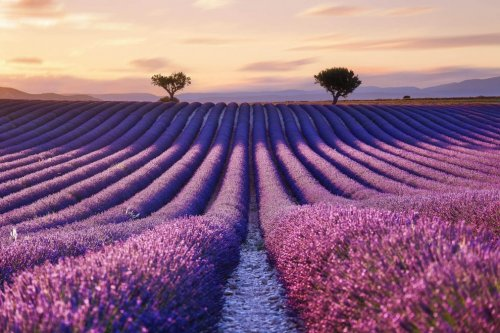 Красота лавандовых полей в фотографиях Аурельена Биллуаза (8 фото)
