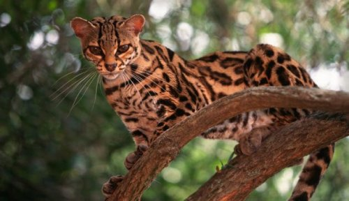 Топ-10: очаровательные и редкие представители семейства кошачьих, о которых мало кто знает