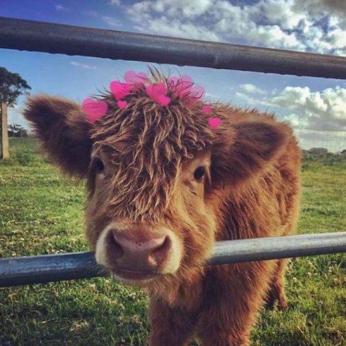 Очаровательные телята хайлендской породы, которые вызовут вашу улыбку (33 фото)