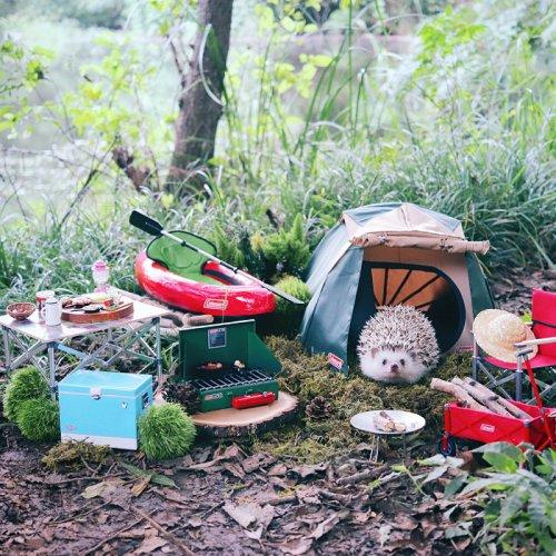 Японский ёжик Адзуки, который любит турпоходы (7 фото)