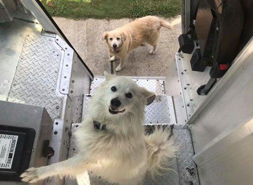Прелестные собаки, встречающие работников курьерской службы UPS (19 фото)