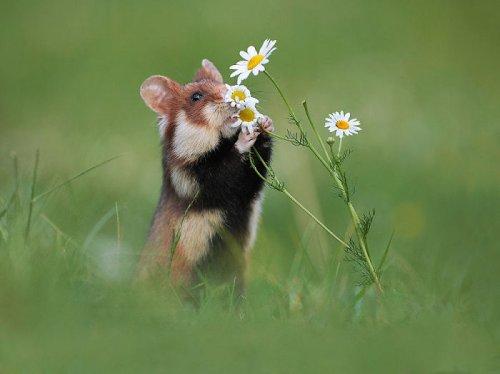 Прелестные дикие хомячки, которые поднимут вам настроение (26 фото)