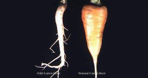 ТОП-10: Продукты, которые были генетически модифицированы до неузнаваемости