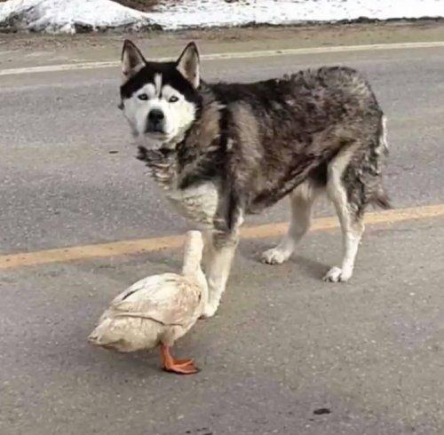 Необычная и трогательная дружба между собакой и уткой (6 фото)