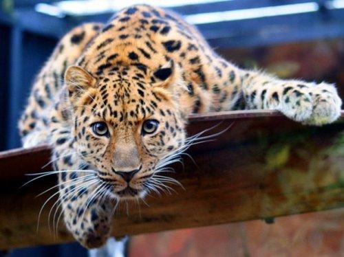 Топ-25: редкие животные, которых уже почти невозможно встретить в дикой природе