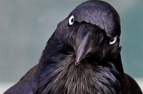 ТОП-10: Невероятные факты о воронах