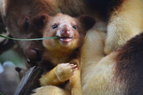 Очаровательные древесные кенгуру, которые вызовут вашу улыбку (26 фото)