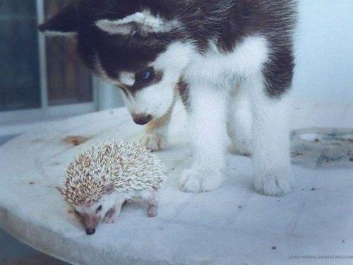 Фотографии с прелестными хаски, после просмотра которых вы захотите завести себе собаку этой породы (27 фото)