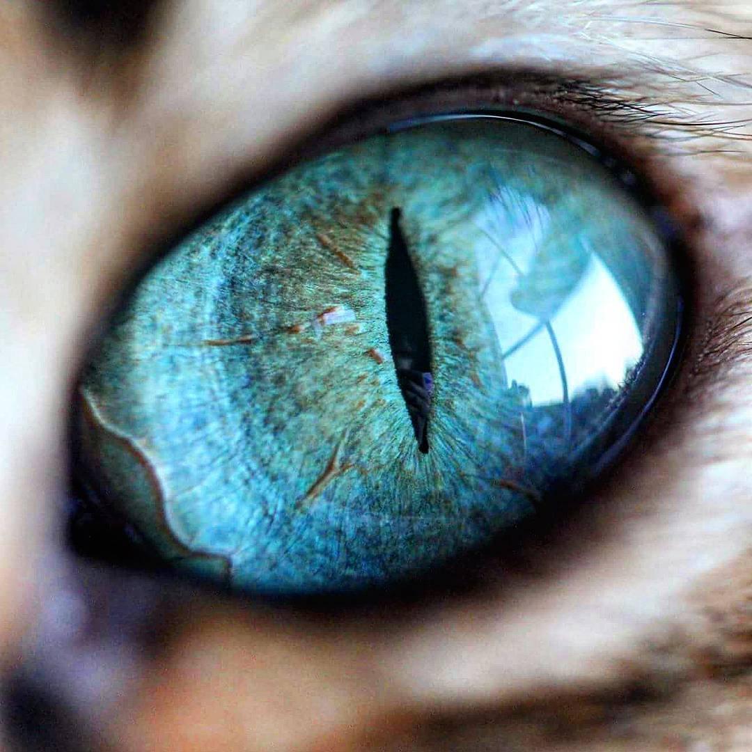 бирюзовый цвет глаз у кошек фото может кто