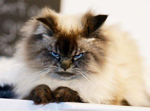 Кот Мерлин, который ненавидит всё вокруг (21 фото)