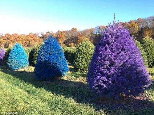 На ферме в Нью-Джерси выращивают разноцветные ёлки к Рождеству (8 фото)
