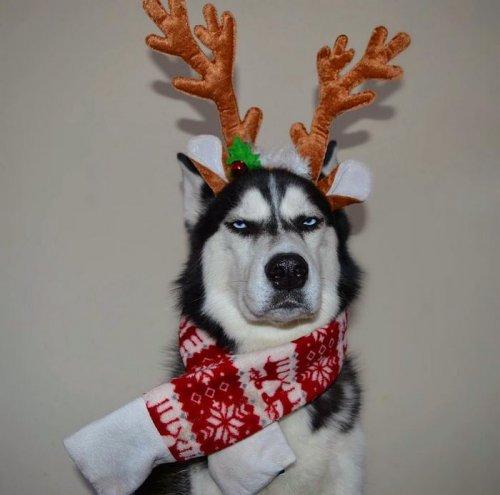Сибирский хаски Ануко в рождественской фотосессии (11 фото)