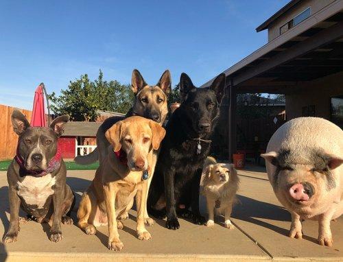 Домашняя свинья живёт в компании 5 собак и думает, что она одна из них (9 фото)