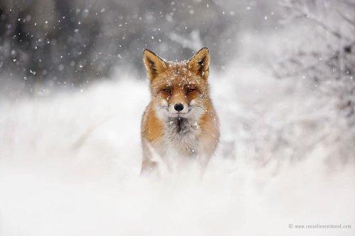 Рыжие лисицы наслаждаются снегом в фотографиях Розелин Раймонд (18 фото)
