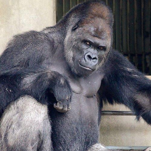 Горилла-красавчик Сабани из зоопарка Хигасияма, по которому японцы сходят с ума (12 фото)