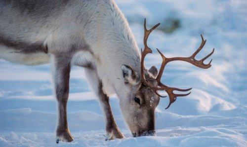 ТОП-10: Малоизвестные факты про северных оленей