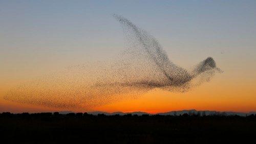 Фотограф сделал уникальный снимок птичьей стаи в форме птицы (11 фото)