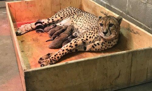 В зоопарке Сент-Луиса самка гепарда родила рекордное количество котят (8 фото + видео)