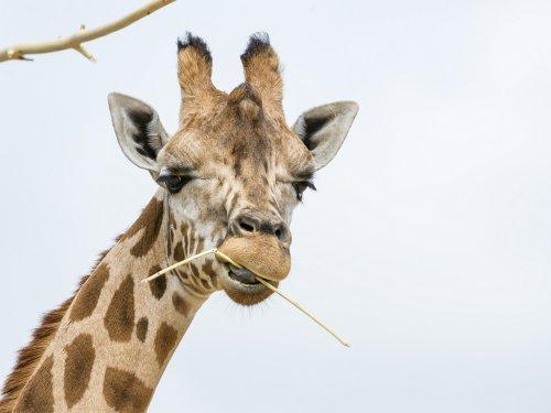 Что это за штуки на голове у жирафов? (12 фото + видео)