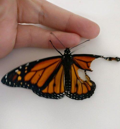 Мастер ручной вышивки сделала операцию бабочке-монарху со сломанным крылом, вернув возможность летать (7 фото)