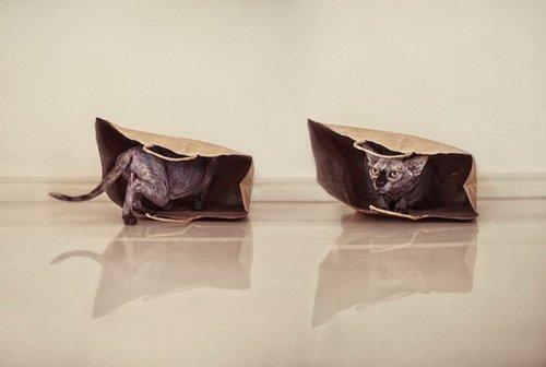 Потрясающие сфинксы в фотографиях Серены Ходсон (11 фото)