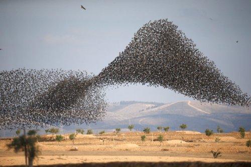 Скворцы в небе через объектив фотографа Амира Коэна (8 фото)