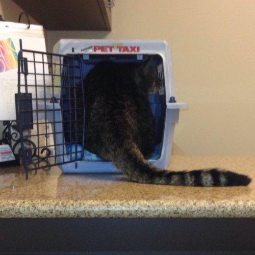 Смешные кошки, осознавшие, что попали к ветеринару (36 фото)