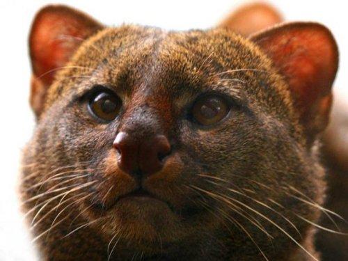 Редкая дикая кошка ягуарунди (7 фото)