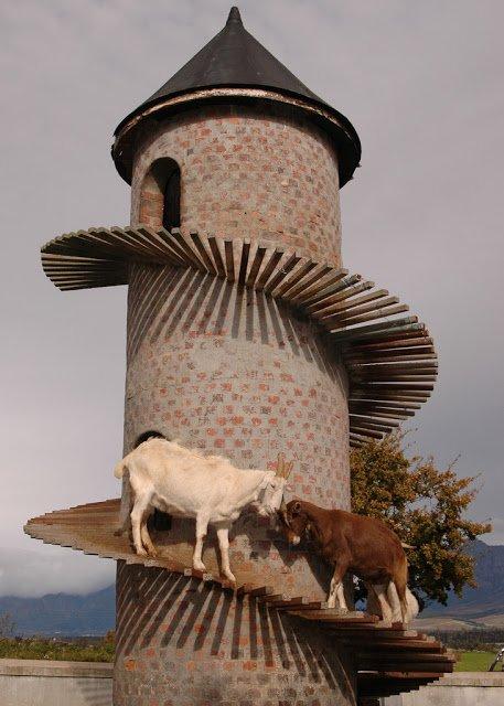 Башня Козлов: Козлиный кондоминиум (10 фото)