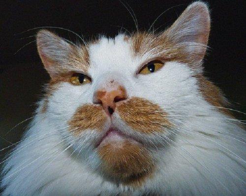 Кошки-усачи и бородачи, которым позавидует любой хипстер (11 фото)