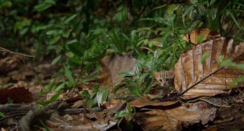 Ржавая кошка: самая маленькая представительница семейства кошачьих (8 фото)