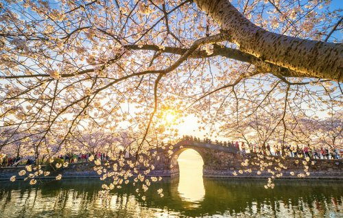 В Китае зацвела вишня, превратив страну в один прекрасный цветущий сад (22 фото)