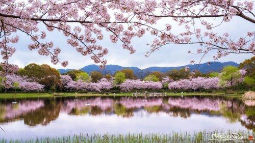 Цветение сакуры в Японии в фотографиях Хиденобу Судзуки (21 фото)