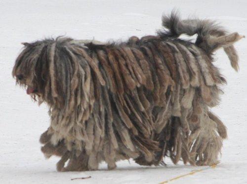 ТОП-25: Самые странные породы собак