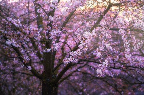Цветущая вишня… в Амстердаме (13 фото)