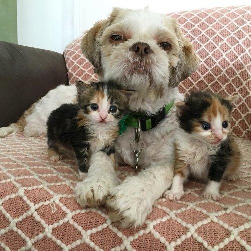 Пес помог вырастить более 70 приемных котят после того, как влюбился в трехногую кошку (13 фото)