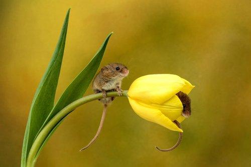 Мыши-малютки внутри тюльпанов в фотографиях Майлса Херберта (19 фото)