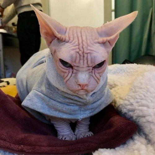 Обаяшка Локи, претендующий на звание самого сердитого котика в мире (10 фото)