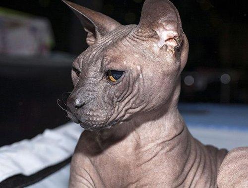 ТОП-25: Самые странные породы кошек