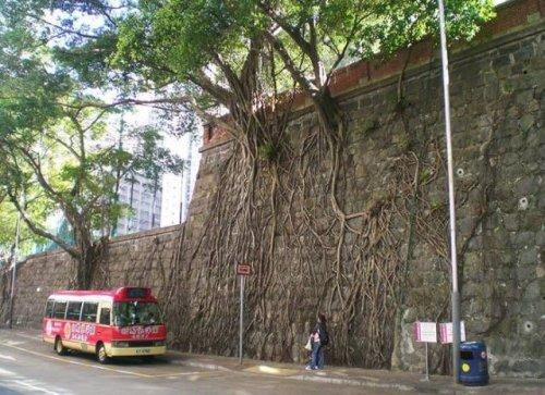 Удивительные деревья с невероятной волей к жизни (15 фото)