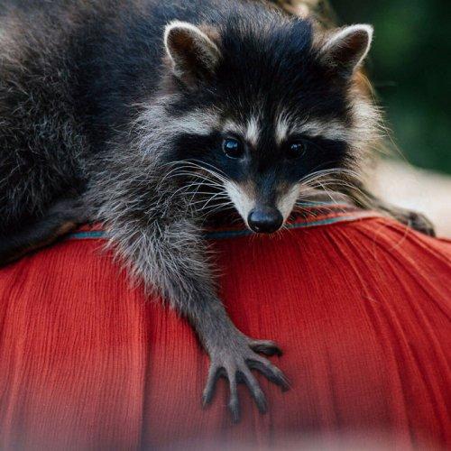 """Енот Яша, который """"работает"""" в ветклинике, помогая расслабиться животным (8 фото + видео)"""