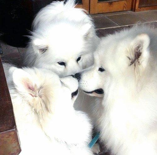 Фотографии очаровательных самоедов, после просмотра которых вы захотите завести себе собаку этой породы (25 фото)